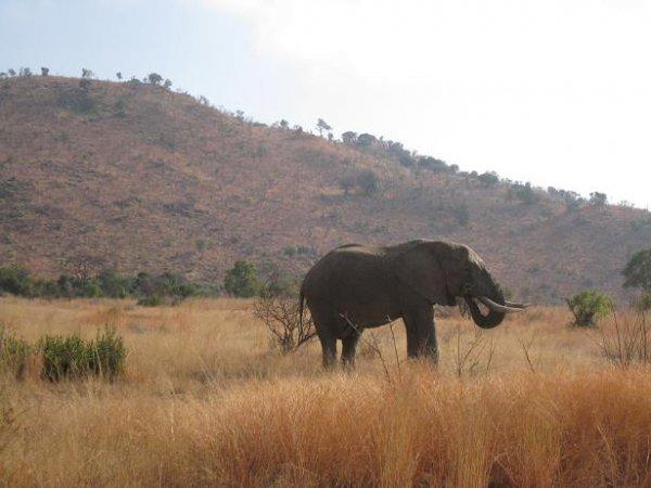Elefants crossing